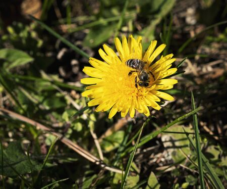 nature seasonal background a bee is dancing on a dandelion flower 写真素材