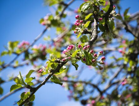 seasonal nature background buds of apple blossoms