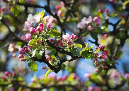 nature seasonal background detail pink buds on apple trees 写真素材