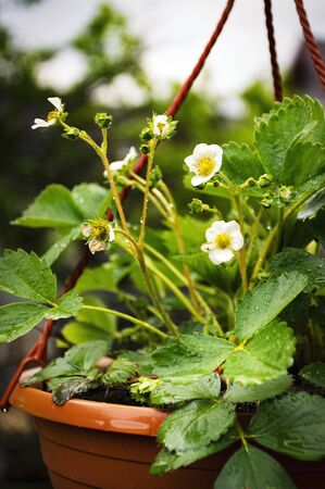 seasonal background wet strawberry plants in a hanging pot