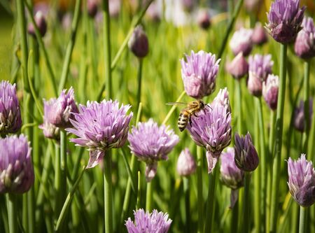 nature seasonal byckground bee on chive flowers