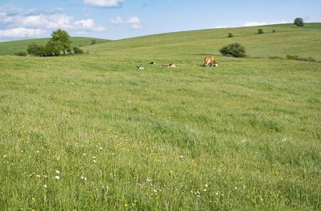 seasonal nature background The cow grazes on a large meadow with flowers