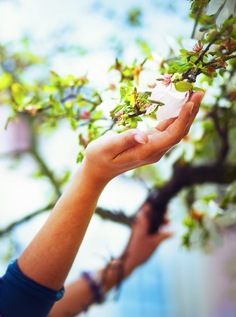 adoring: Adoring the spring magnolia flowers on a tree in sun light. Flower in woman hand