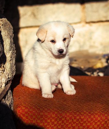 Adorable white shepperd dog puppy .