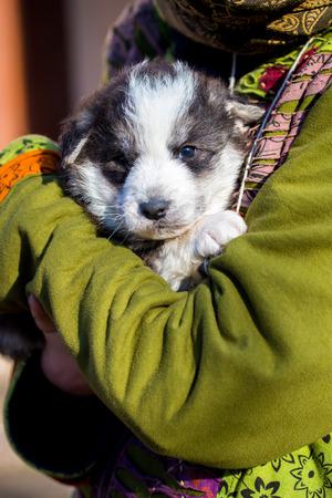 joyfull: Little beautiful black and white shepherd puppy held on human shoulders .