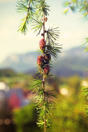 ovulate: Branch with cones. Larix leptolepis, Ovulate cones of larch tree, spring