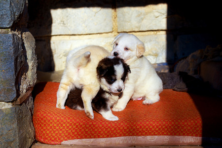 joyfull: Beautiful adorable group of shepherd dog puppies in an outside shelter Stock Photo
