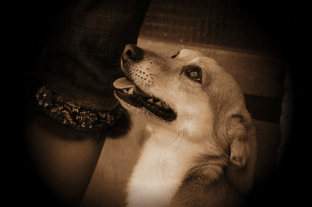 beautiful head of a dog portrait and soft sepia toning