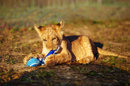 cuddling: lion cub cuddling in nature and plaing with toy Stock Photo