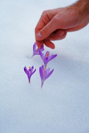 awaking: crocuses in snow, purple spring flowers. With man hand.
