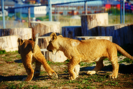 lion cub: two lion cub cuddling in nature . Stock Photo