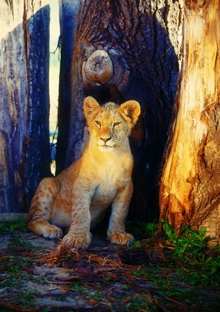 lion cub: Little lion cub in nature and wooden log