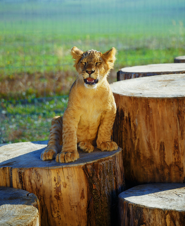 lion cub: Lion cub in nature with blue sky and wooden log Stock Photo