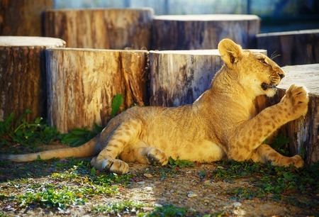 lion cub: lion cub in nature and sunny day