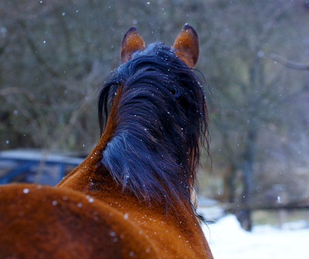 horse in snow: Brown Horse in Snow land and snowfall Stock Photo