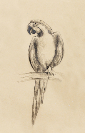 ornithologist: pencil drawing parrot on old paper, vintage paper