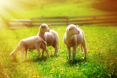 graze: Little lambs grazing on a beautiful green meadow with dandelion
