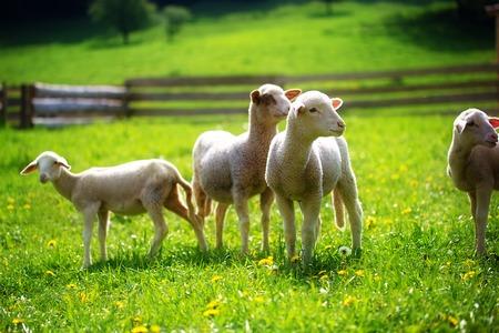 animal eyes: Little lambs grazing on a beautiful green meadow with dandelion
