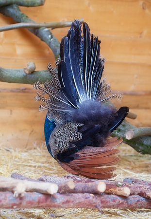 covert: Beautiful peacock from behind displaying his plumage. Portrait of peacock with feathers