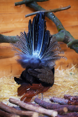 narcissistic: Beautiful peacock from behind displaying his plumage. Portrait of peacock with feathers