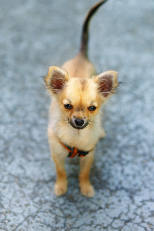 ittle: little charming adorable chihuahua puppy on blurred background. Eye contact Stock Photo