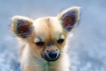 ittle: little charming adorable chihuahua puppy on blurred background