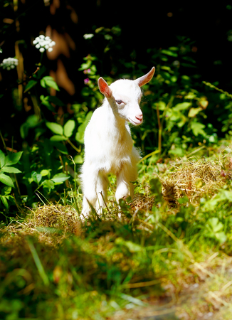 baby goat: little baby goat on wild meadow on beautiful sommer day