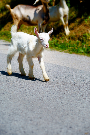 baby goat: little baby goat with goat herd walking on the mountain road