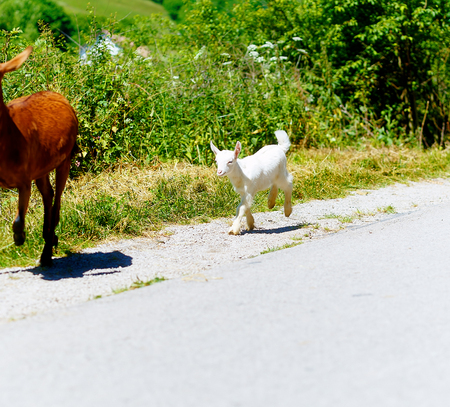 baby goat: little cute white baby goat walking on the road