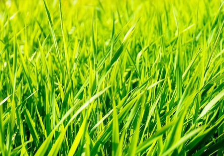 gramineous: beautiful light green barley. Structure Green background Stock Photo