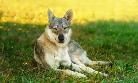 domesticated wolf dog resting relaxed on a meadow. Czechoslovakian shepherd