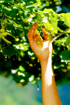 plucking: gentle prayer to a beautiful linden tree on bright midsummer day Stock Photo