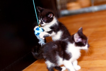 frolicking: sweet little baby kittens playing together with a toy