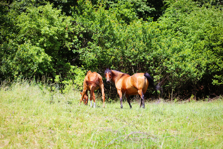 beautiful brown horses grassing on a green meadow Stock Photo