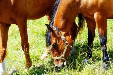 grassing: beautiful brown horses grassing on a green meadow Stock Photo