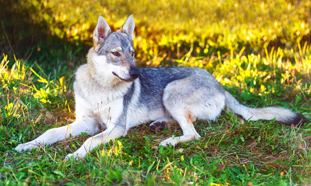 domesticated: domesticated wolf dog resting relaxed on a meadow. Czechoslovakian shepherd