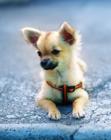 ittle: little charming adorable chihuahua puppy on blurred background. sitting on the ground