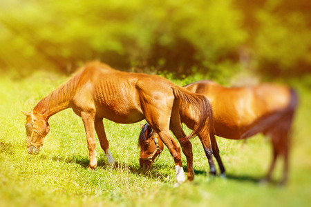 grassing: beautiful brown horses grassing on a green meadow. light and blur effect Stock Photo