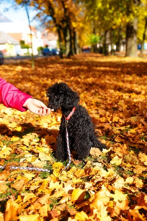 designer baby: Woman feeds poodle in a beautiful autumn park Stock Photo
