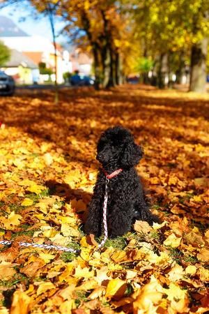 romp: Black poodle in autumn park, beautiful autumn leaves