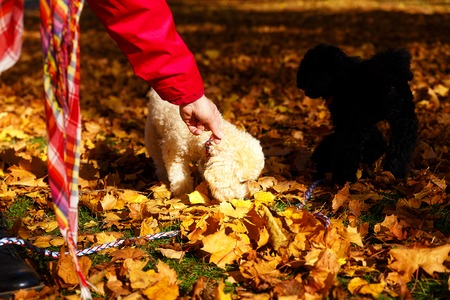 sweetly: Woman feeds poodle in a beautiful autumn park Stock Photo