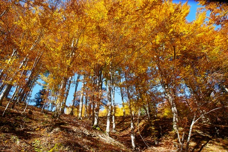 treetops: Golden treetops, with beautiful bright blue sky