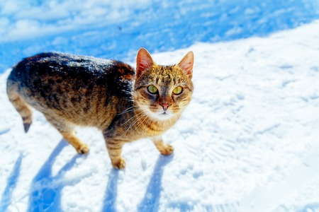 Cat in winter landscape. Eye contact and white background Stock Photo