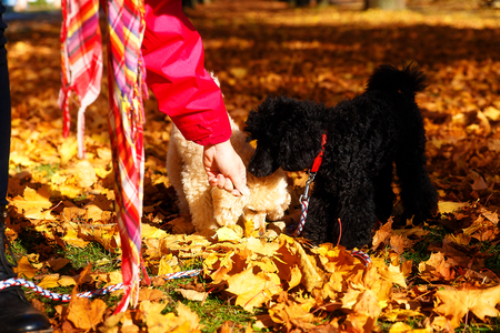 Woman feeds poodle in a beautiful autumn park Stock Photo