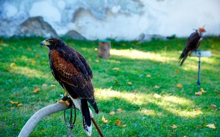 zopilote: beautiful bird of prey, common buzzard, sitting on setting pole