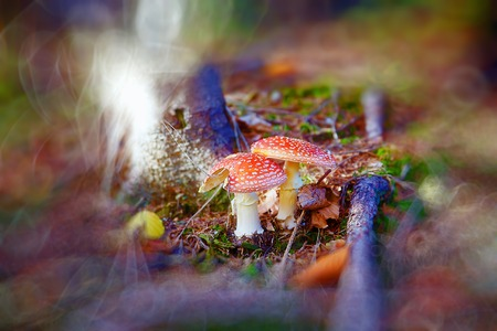 food poison: Two spotted toadstools in the autumn woods. Blur background