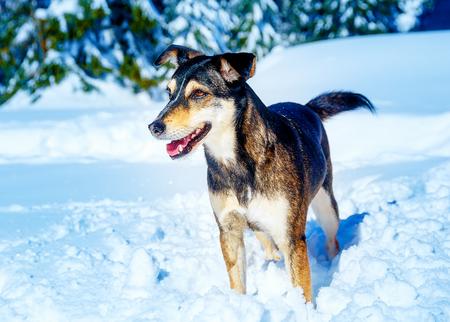 Dog in mountain winter landscape. Profile portrait