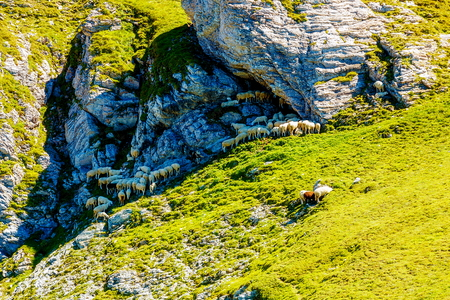 grassing: cattle grassing in beautiful mountain alpine landscape