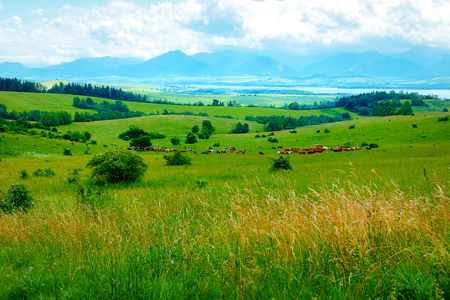 Cow herd grazing on a beautiful green meadow, with mountains in background.