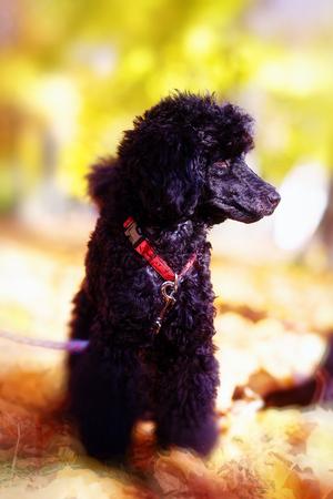 romp: Black poodle in autumn park beautiful autumn leaves.